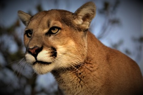 A picture of a mountain lion staring in the distance